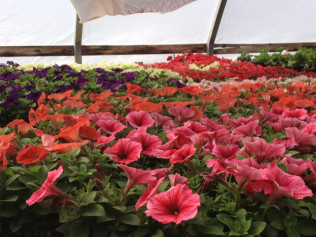 Petunia Bedding or Hanging